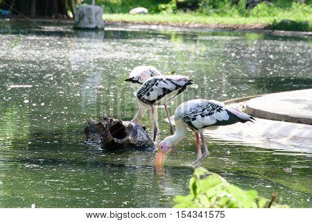 Lesser Adjutant Stork In Its Habitat