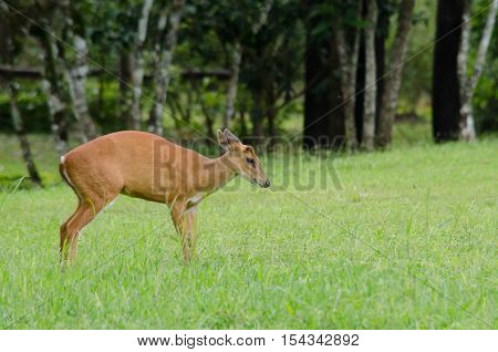 The red Muntjac is a species of China Laos Myanmar Thailand and Vietnam.
