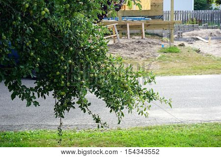 HARBOR SPRINGS, MICHIGAN / UNITED STATES - AUGUST 2, 2016: Apples ripen in a wild apple tree (Malus pumila) in Harbor Springs, Michigan during August.