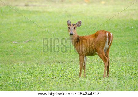 Red Muntjac Live In Grassland ,thailand