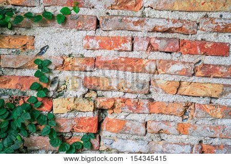 Vintage red brick wall with rough texture and creeper plant for background
