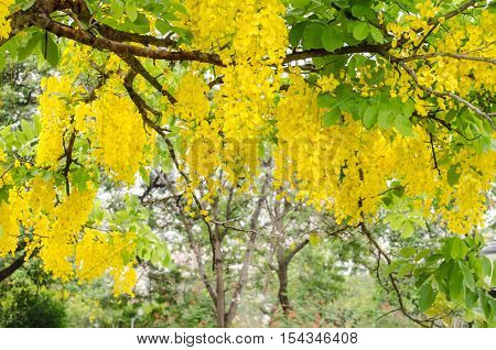 Cassia fistula is plant of thailand and its flower is Thailand's national flower.