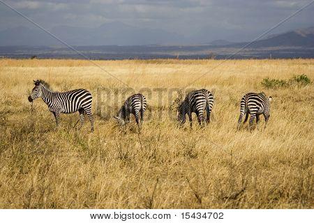 Zebras In Tanzanian National Park