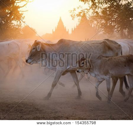 Group Of Cow Walking On Dusty Road