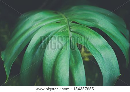 Close-up Of Monstera Leaves Texture In Dark Background - Vintage Split Tone