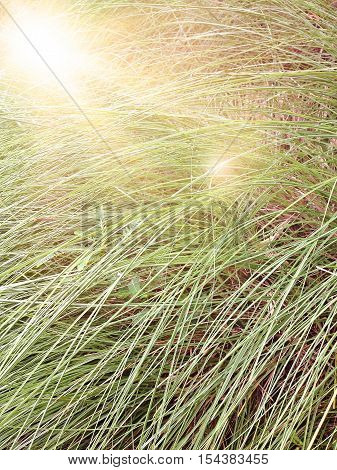 Blur of tall grass with len flare effect, out of focus image, tall grass field nature background with len flare effect vintage style