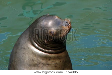 a cute picture of sea-lion poster