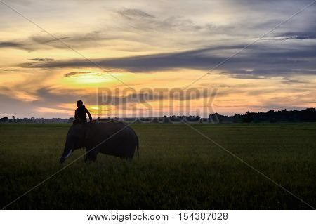 SURIN THAILAND - CIRCA OCTOBER 2016 : Thai mahout ride the elephant to work in a rice field at sunrise. In Thailand the economy is dominated by agriculture.