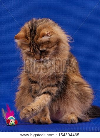 Beautiful siberian cat with toy mouse over blue background