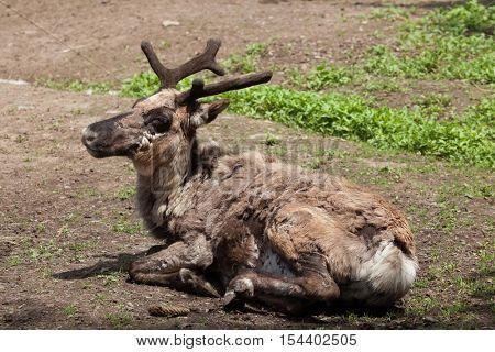 Domestic reindeer (Rangifer tarandus f. domestica), also known as the domestic caribou. Wildlife animal.