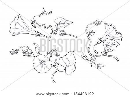 Pink Morning Glory (Field Bindweed, Convolvulus arvensis) flowers. Hand drawn black and white illustration on white backgroundŒ.