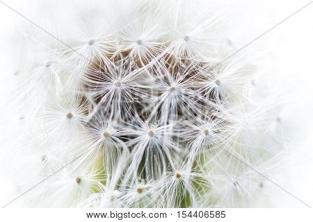 white fluff gentle refined and gentle sunlight illuminates the ball of dandelion