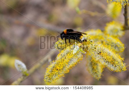 Bumblebee collecting pollen on catkins of the willow tree branch
