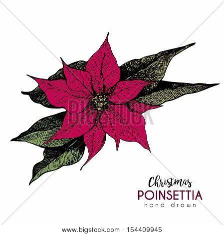 VEctor hand drawn poinsettia. Vintage engraved botanical illustration. Christmas decoration. Colored poinsettia flower illustration. Use for Xmas holiday decorating.