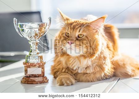 Big Champion Red Maine Coon Cat with Trophy, Horizontal View