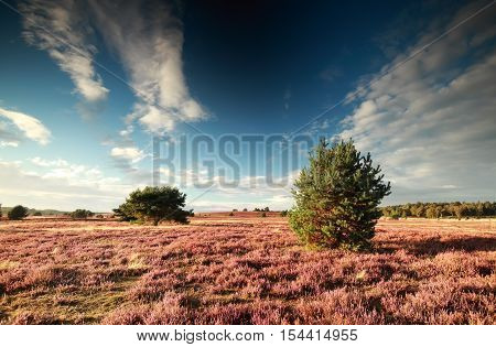 pink flowering heather during sunny summer day