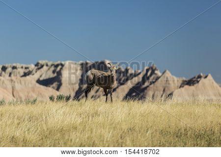 A female bighorn sheep in the badlands.