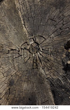 Cross section of the old dead wood