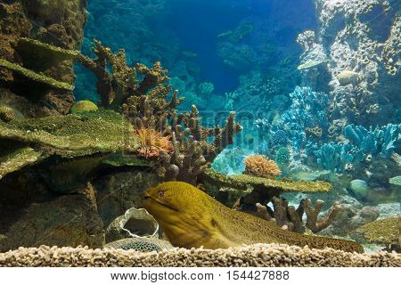 Moray eel lays on a Caribbean coral reef. Moray Eel Looks out.