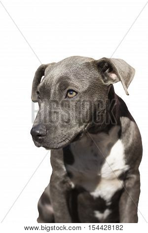 cute pit bull terrier puppy sitting on a white background.dog eyes.