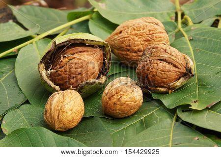 Fresh walnuts lie on walnut leaves in autumn