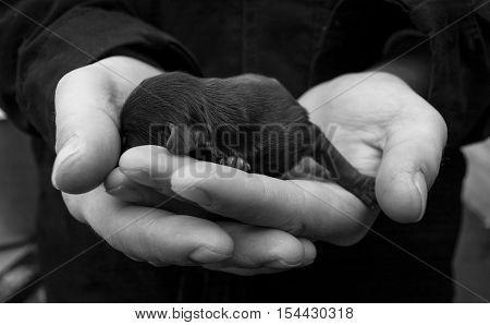 Newborn puppy lies in the hands of man. Baby dog. Black and white photo.