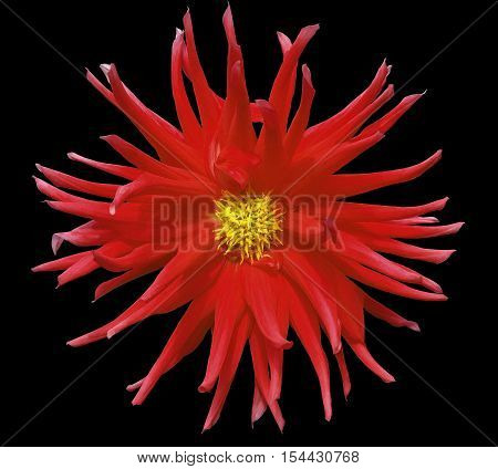 red flower on a black background isolated with clipping path. Closeup. big shaggy autumn flower. Dahlia.