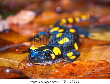 Fire Salamander At The Autumn Foliage In Nature.