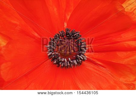 Macro shot of single red poppy for use as background.