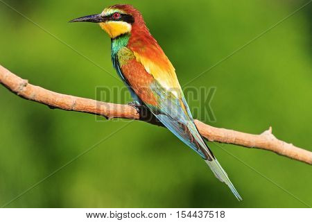 bright colored bird sitting on a branch on a green background facing left, bee eater