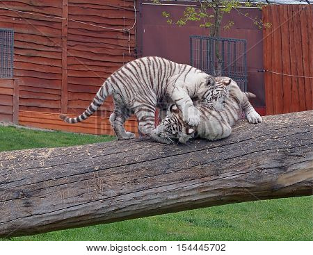 Inventories White Tigers. Boryszew, Poland May 03, 2016 White Tigers while playing on a log trees in his catwalk in a garden zoo in Boryszew.