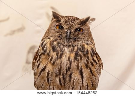 European eagle-owl. Portrait of great eagle owl looking angrily on white background.