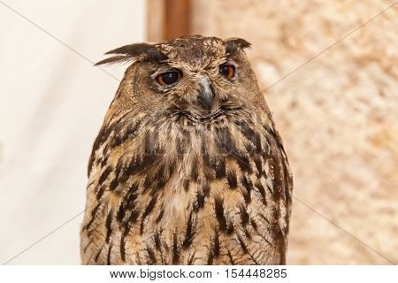 Eagle-owl . Close-up portrait of the European eagle-owl with brown eyes.