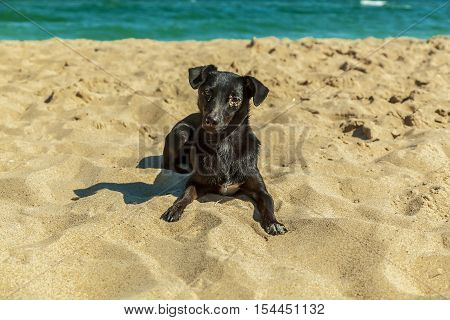 Labrador puppy. Single black Labrador puppy relaxing on the sandy beach against the sea.