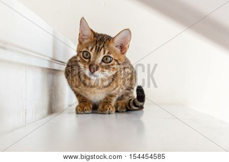 Bengal cat.Small playful Bengal cat lying on the steps waiting for the game.