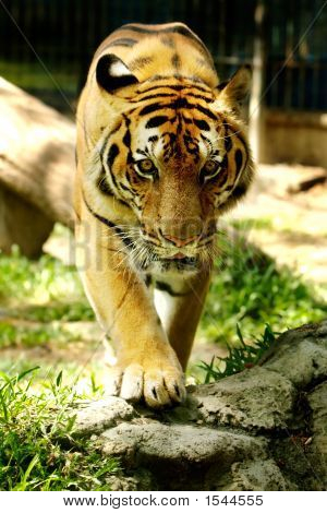 Panthera Tigris