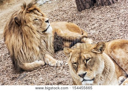 Couple of Barbary lions - Panthera leo leo. Male and female. Atlas lion. Critically endangered animal species.