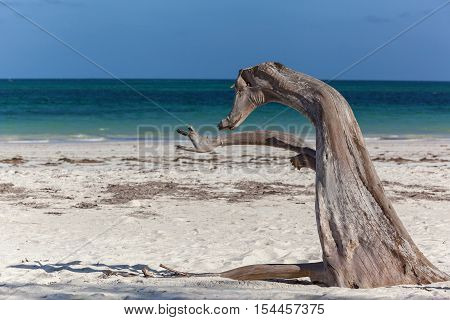 Indian Ocean coastline. Indian Ocean coastline on which grows the tree resembling an animal.