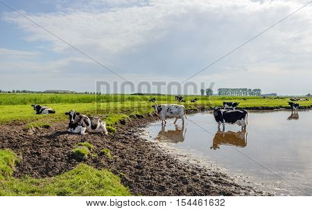 Black and white spotted cows cool in and around the water of a small lake after a hot summer day in the Netherlands.