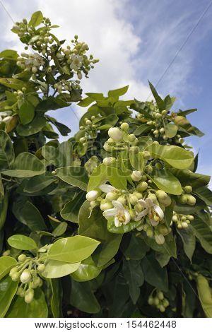 Pomelo - Citrus maxima White Flowers on Tree
