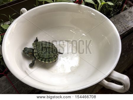 Red-eared Slider (Trachemys scripta elegans) sits in a cup