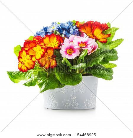 Spring flowers. Flowerpot with primrose primula flower isolated on white background