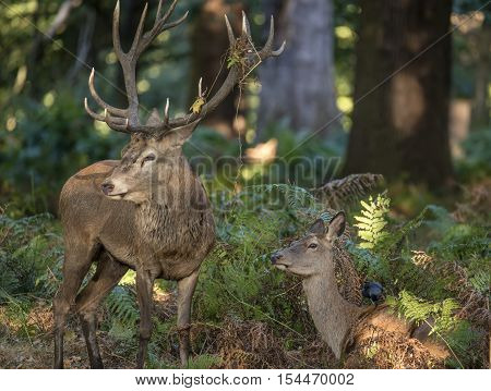 Beautiful intimate tender moment between red deer stag and hind doe during rutting season with stag bellowing poster
