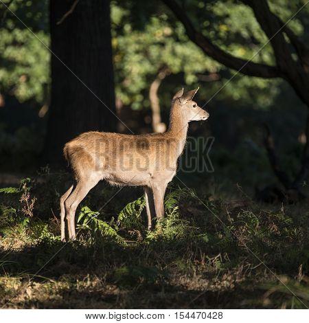 Stunning Hind Doe Red Deer Cervus Elaphus In Dappled Sunlight Forest Autumn Fall Landscape