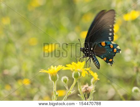 Pipevine Swallowtail butterfly feeding on a yellow wildflower on a sunny summer meadow