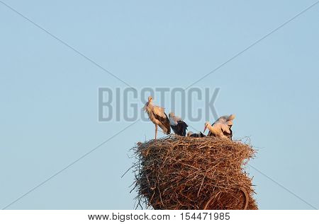 Stork with baby birds in the nest. Storks on a background of blue evening sky