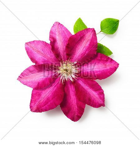 Pink clematis flower with leaves. Single object isolated on white background clipping path included. Summer garden flowers