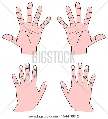 Vector - Pair of Human Hands (Palm) - Front & Back view with all fingers: Thumb, Index, Middle, Ring, and Baby (Pinky) also showing Distal, Middle, and Proximal Phalanx