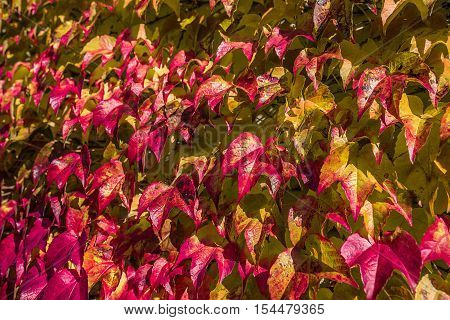 autumn red yellow and golden leaf outdoor