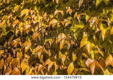 autumn brown yellow and golden leaf outdoor